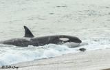 Orca Attack  9