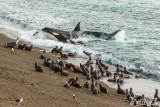 Orca Attack   11
