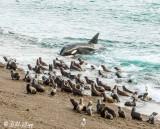 Orca Attack  13