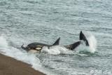 Orca Attack  15