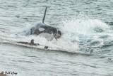 Orca Attack  16