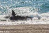 Orca Attack  17