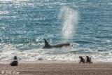 Orcas Hunting  3