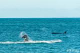 Orca tail Throw   1