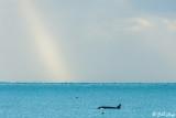Orca Cruising  1