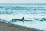 Orca Attack  18