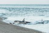Orca Attack  19
