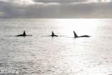 Orcas Cruising  2