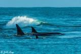Orcas Cruising  3