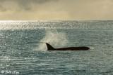 Orca Sunrise  5