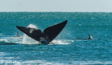 Orcas  Attacking a Southern Right Whale  5