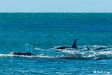Orcas Attacking a Southern Right Whale  6