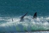 Orca Beach Attack  22