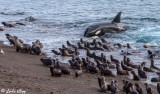 Orca Beach Attack  27