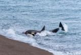 Orca Beach Attack  28