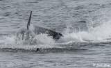 Orca Beach Attack  29