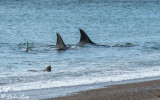 Orcas Hunting  4