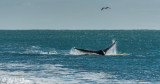 Orcas Attacking a Southern Right Whale  8