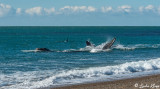 Orcas Attacking a Southern Right Whale  10