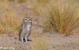 Burrowing Owl  20