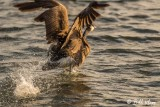 Canada Geese  17
