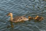 Mallard Ducks Family  12