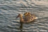 Mallard Ducks  14