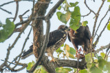 Adult & Juvenile Hawks sharing a ground Squirrel Meal