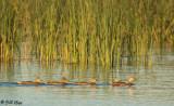 Juvenile Mallard Ducks  15