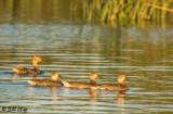 Juvenile Mallard Ducks  16