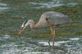 Great Blue Heron 7