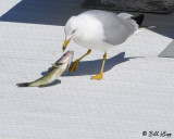 Gull with dinner  2