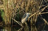 Black Crowned Night Heron  2