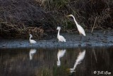 Snowy Egrets & Great Egret  2