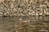 Wood Ducks  1