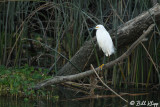 Snowy Egret  14
