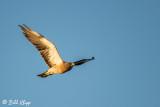 Swainsons Hawk  2