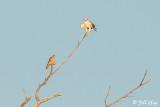 White Tailed Kite & American Kestrel  3