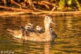 Wood Ducks  3