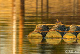 Pacific Pond Turtles  5