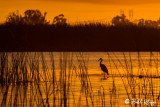 Great Blue Heron Sunset  9