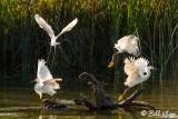 Snowy Egrets  17