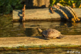 Pacific Pond Turtles  7
