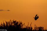 Falling Skies Hunting Canada Geese  2