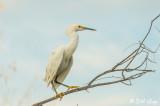 Snowy Egret   21