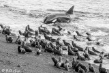 Killer Whale Beach Attack  13 B&W