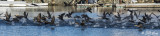 Cormorant take-off 10