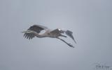 Great Blue Heron  20
