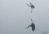 Great Blue Heron  22