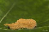 Furry Puss Caterpillar, A Toxic Tribble  1
